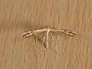 45.027 Scarce Light Plume, Crombrugghia laetus