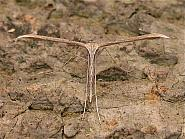 45.044 Common Plume Moth, Emmelina monodactyla, Co Wicklow