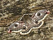 68.001 Emperor Moth, Saturnia pavonia, Co Louth