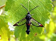 52.008 Red-tipped Clearwing, Synanthedon formicaeformis, Co. Westmeath