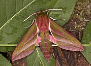 69. Sphingidae: Hawk-moths