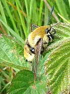 69.008 Narrow-bordered Bee-hawk Moth, Hemaris tityus, Co Laois