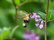 69.008 Narrow-bordered Bee-hawk Moth, Hemaris tityus, Co Kildare