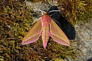 69.016 Elephant Hawk-moth, Deilephila elpenor, Co Sligo