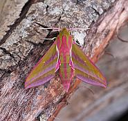 Elephant Hawk-moth, Deilephila elpenor, Co Leitrim