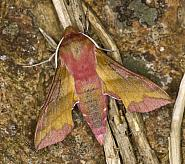 69.017 Small Elephant Hawk-moth, Deilephila porcellus, Co Louth