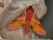 69.017 Small Elephant Hawk-moth, Deilephila elpenor, Co Dublin