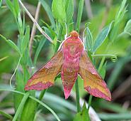 Small Elephant Hawk-moth, Deilephila porcellus Co Leitrim