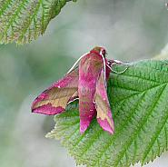 Small Elephant Hawk-moth, Deilephila porcellus Co. Donegal
