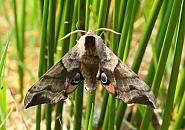 69.002 Eyed Hawk-moth, Smerinthus ocellata, Co Donegal