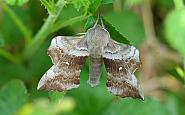 Poplar Hawk-moth, Laothoe populi, Co Donegal