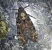 69.005 Death's Head Hawk-moth, Acherontia atropos, Co Cork