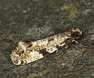 12.016 Cork Moth, Nemapogon cloacella, Co Louth