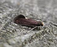 12.048 Psychoides filicivora, Co. Meath