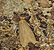12.026 Common Clothes Moth, Tineola bisselliella, Co Louth