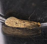 12.027 Case-bearing Clothes Moth, Tinea pellionella, Co Louth