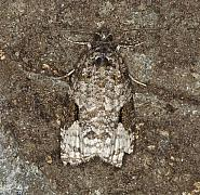 49.146 Apotomis semifasciana, Co Louth