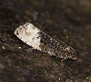 49.156 Marbled Orchard Tortrix, Hedya nubiferana, Co Louth