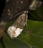 49.157 Plum Tortrix, Hedya pruniana, Co Louth