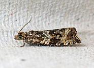 49.166 Celypha lacunana, Co Leitrim