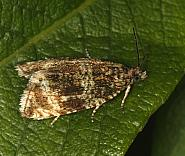49.166 Celypha lacunana, Co Louth