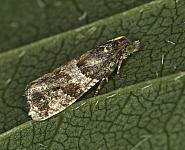 49.183 Lobesia abscisana, Co Louth