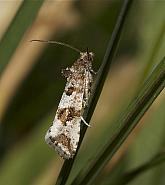 49.185 Lobesia littoralis, Co Louth
