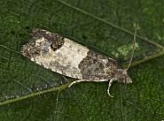 49.224 Bud Moth, Spilonota ocellana, Co Louth