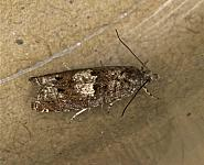 49.240 Epinotia immundana, Co Louth