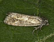 49.246 Epinotia pygmaeana, Co Louth