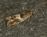 49.248 Nut Bud Moth, Epinotia tenerana, Co Louth