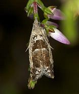 49.249 Epinotia ramella, Co Louth