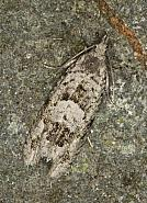 49.254 Epinotia bilunana, Co Louth