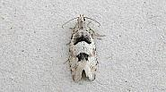 49.254 Epinotia bilunana, Co Wexford