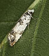 49.269 Eucosma campoliliana, Co Louth