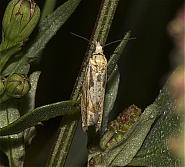 49.272 Eucosma tripoliana, Co Louth