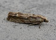 49 272 Eucosma tripoliana, Co Meath