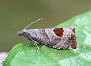 49.294 Bramble Shoot Moth, Notocelia uddmanniana, Co Leitrim