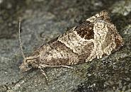 49.294 Bramble Shoot Moth, Notocelia uddmanniana, Co Louth