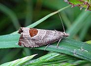 49.294 Bramble Shoot Moth, Notocelia uddmanniana, Co. Leitrim