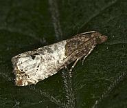 49.295 Notocelia roborana, male, Co Louth