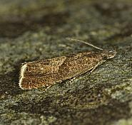 49.313 Dichrorampha acuminatana, Co Louth