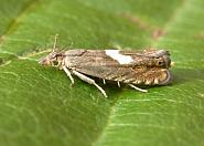 49 321 Dichrorampha petiverella, Co Meath