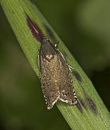 49.324 Pea Moth, Cydia nigricana, Co Louth