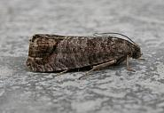 49 338 Codling Moth, Cydia pomonella, Co Meath