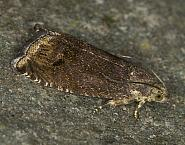 49.341 Cydia splendana, Co Louth