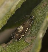 49.347 Grapholita compositella, Co Louth