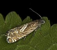 49.354 Grapholita jungiella, Co Louth