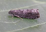 49 357 Grapholita funebrana, Co Meath