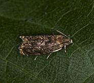 49.359 Grapholita janthinana, Co Louth